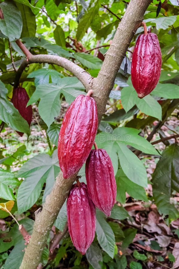 在灌木,危地马拉的恶豆 库存图片