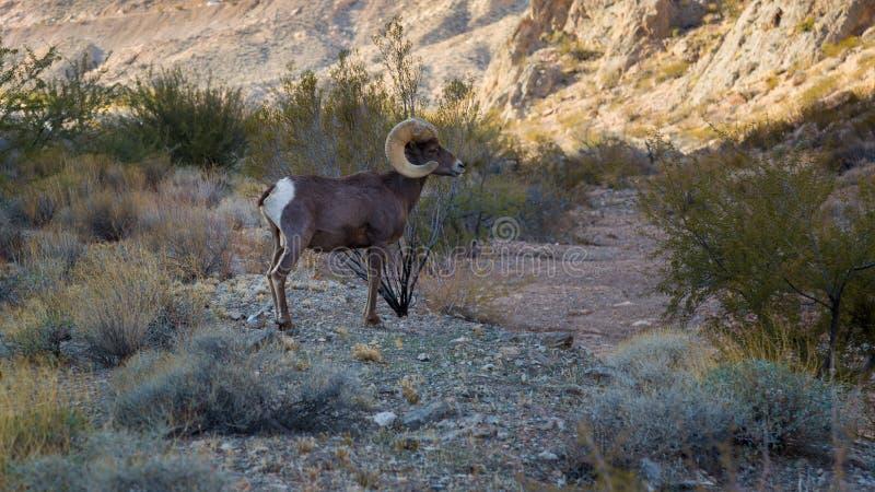 在火国家公园谷的大垫铁绵羊  库存图片