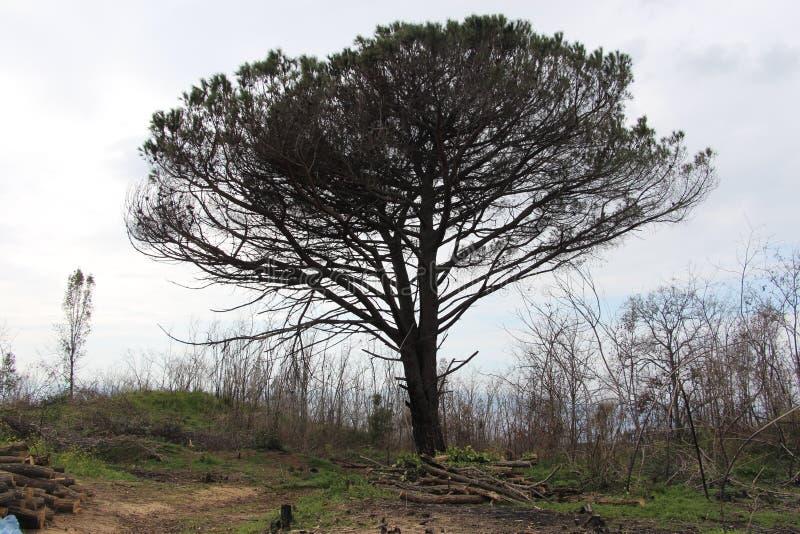 在火山维苏威火山旁边的偏僻的树 免版税库存图片