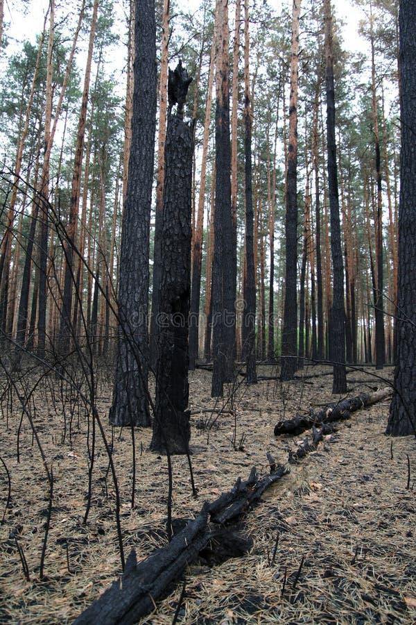 在火残破的被烧的杉木和灌木以后的森林 免版税图库摄影