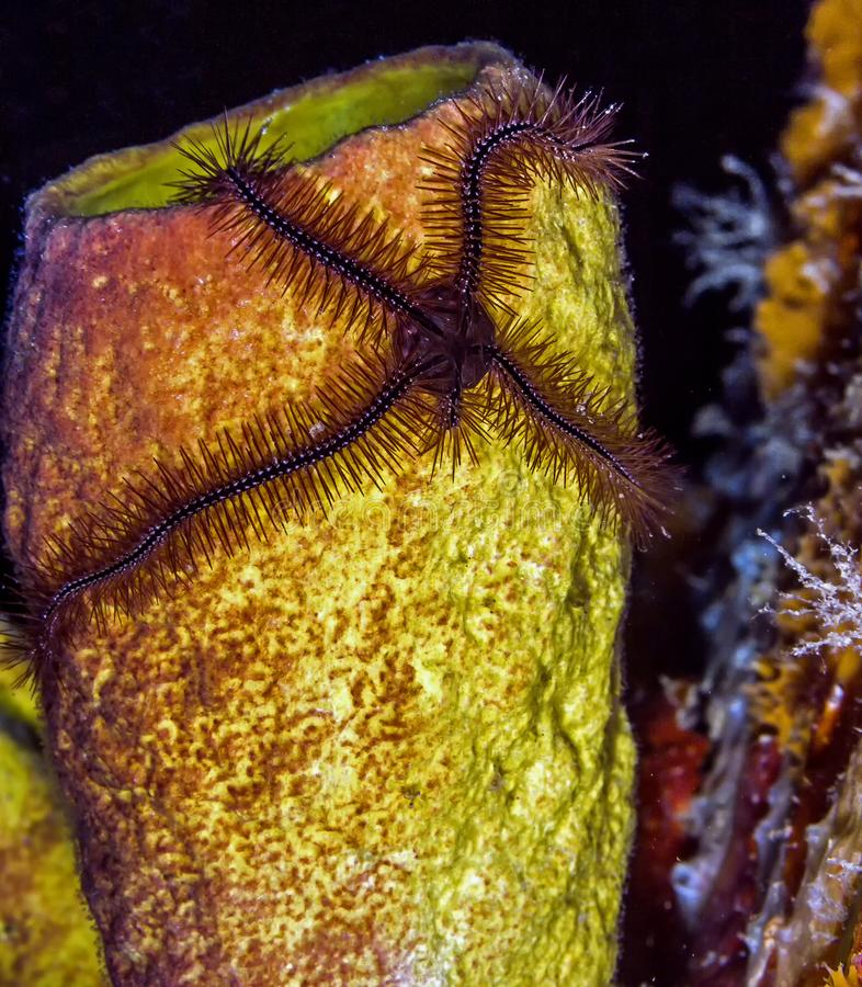 在火炉管子海绵的海蛇尾 免版税图库摄影