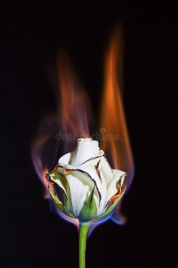 在火的白色玫瑰,但是不烧光有黑背景 图库摄影