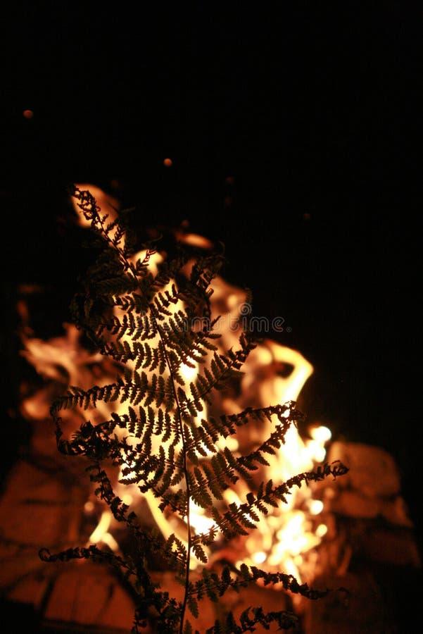 在火的蕨 库存照片