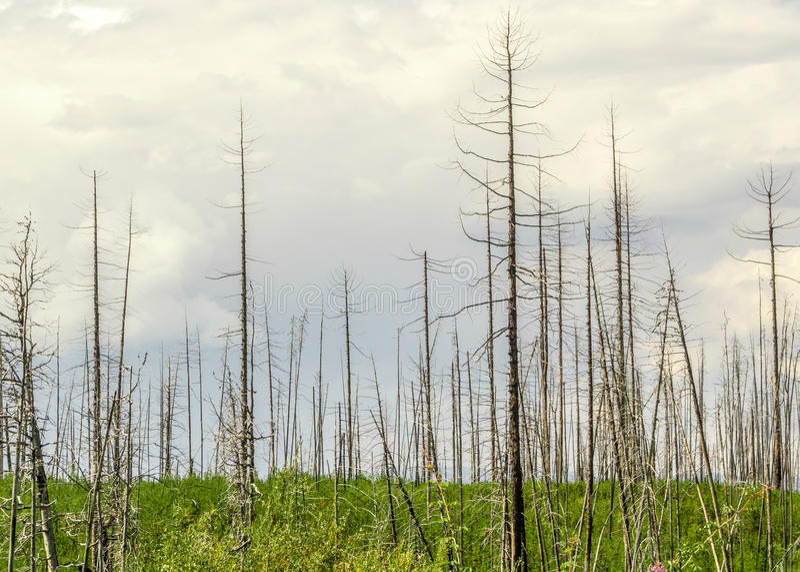 在火以后的光秃的树 免版税库存图片