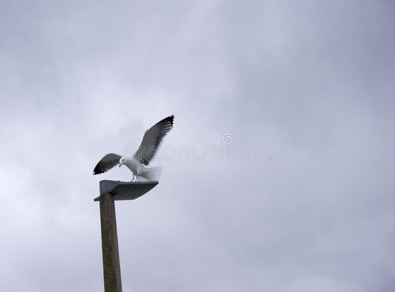 在灯岗位的海鸥着陆 图库摄影