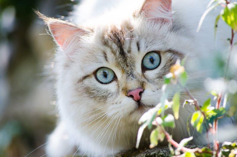 在灰色戏耍在庭院里的颜色和蓝眼睛的逗人喜爱的波斯猫 免版税库存图片