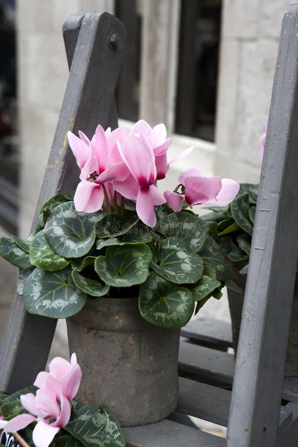 Download 在灰色木步的桃红色仙客来临近大厦 库存图片. 图片 包括有 绿色, 植物群, 粉红色, 颜色, 工厂, 照亮 - 59102341