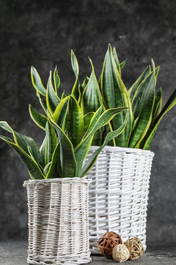 在灰色桌上的装饰百合科植物植物 库存照片
