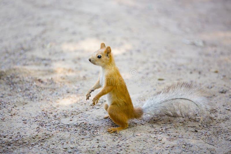 在灰色沙子的红松鼠 库存图片