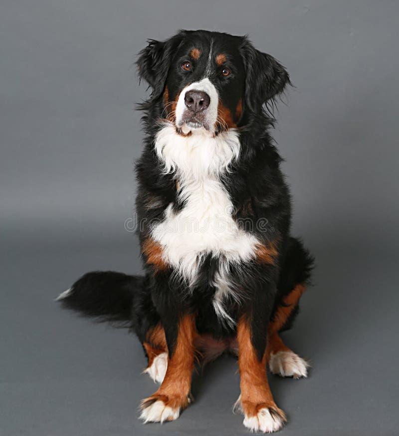 在灰色的伯尔尼的山狗 免版税图库摄影