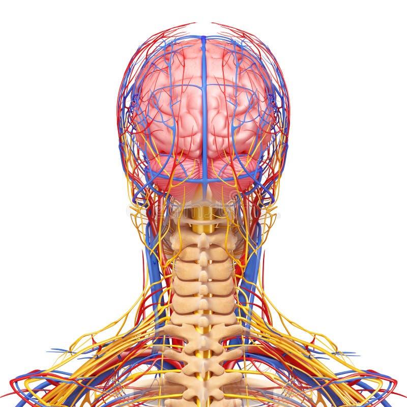 在灰色的男性顶头紧张和循环系统 向量例证