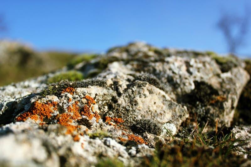 在灰色石头的青苔绽放 免版税库存照片