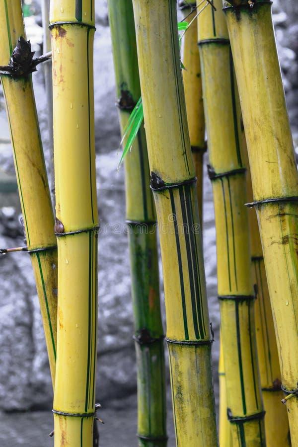 在灰色石背景前面的黄色竹树干 免版税库存照片