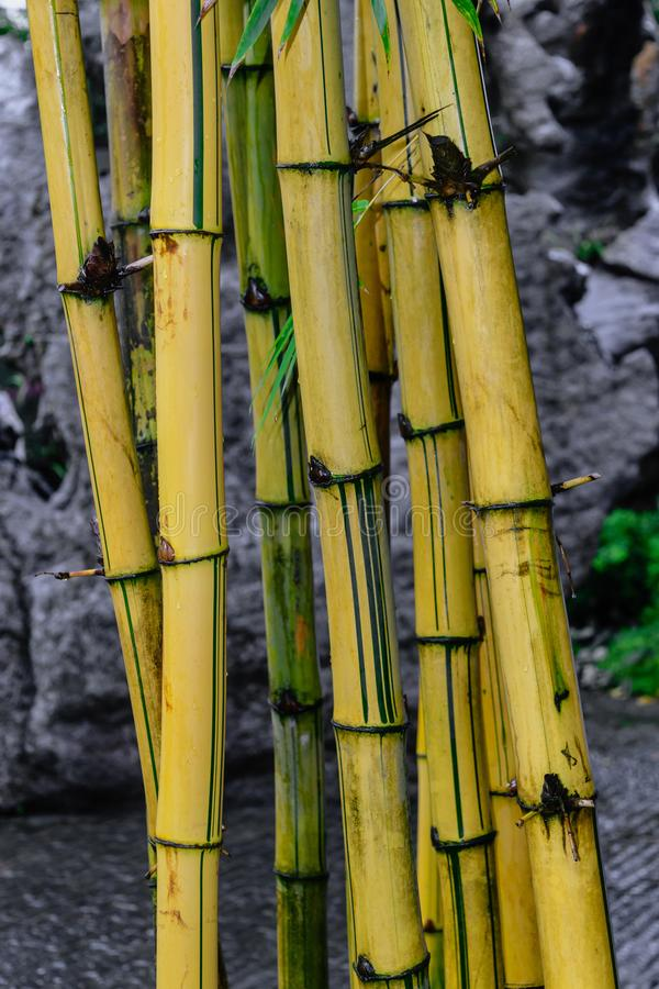 在灰色石背景前面的黄色竹树干 库存照片