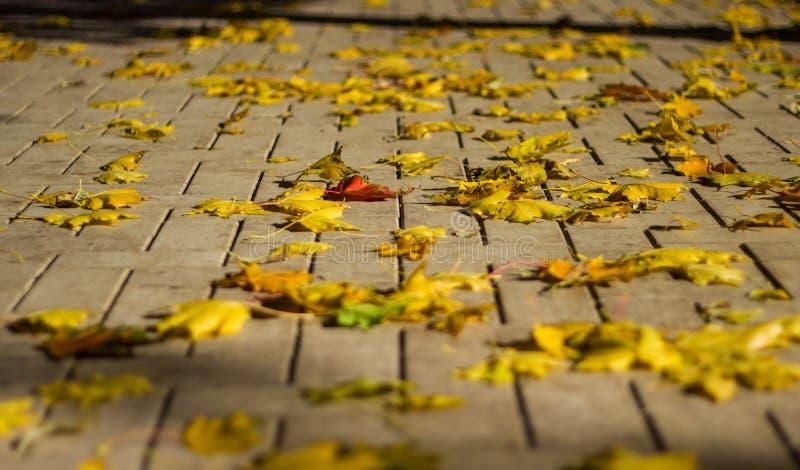 在灰色石边路特写镜头的被染黄的干燥枫叶 E 叶子秋天 图库摄影