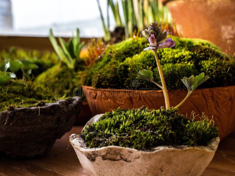 在灰色罐,青苔盖的土壤的紫堇属 免版税图库摄影
