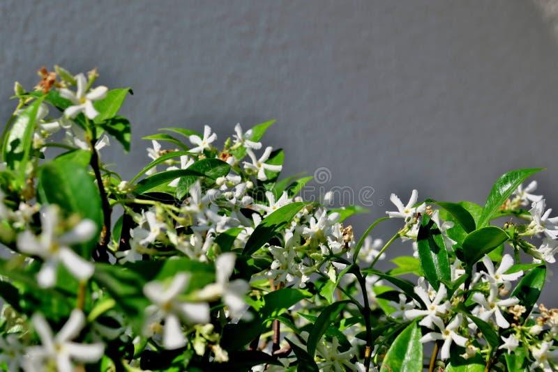 在灰色背景的小白花 库存照片