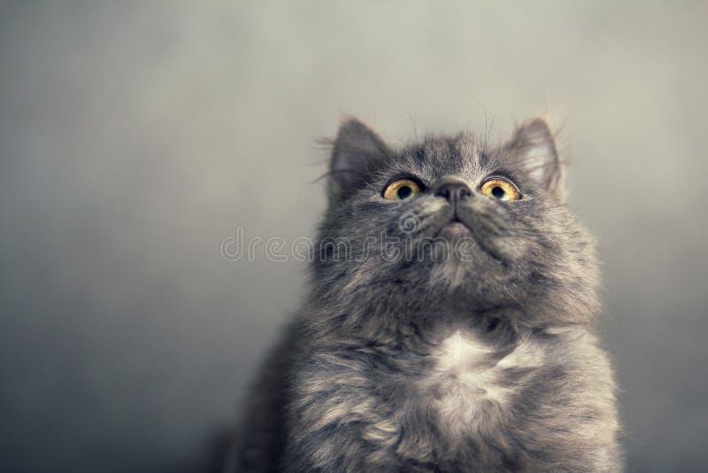 在灰色背景的小的蓬松小猫 免版税库存照片