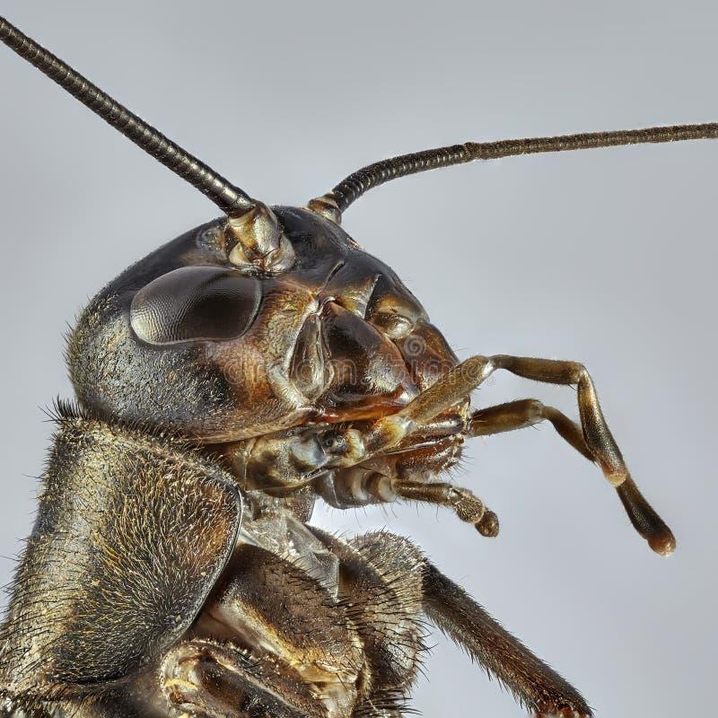 在灰色背景的布朗蟋蟀 堆积图象的宏观关闭 免版税库存照片