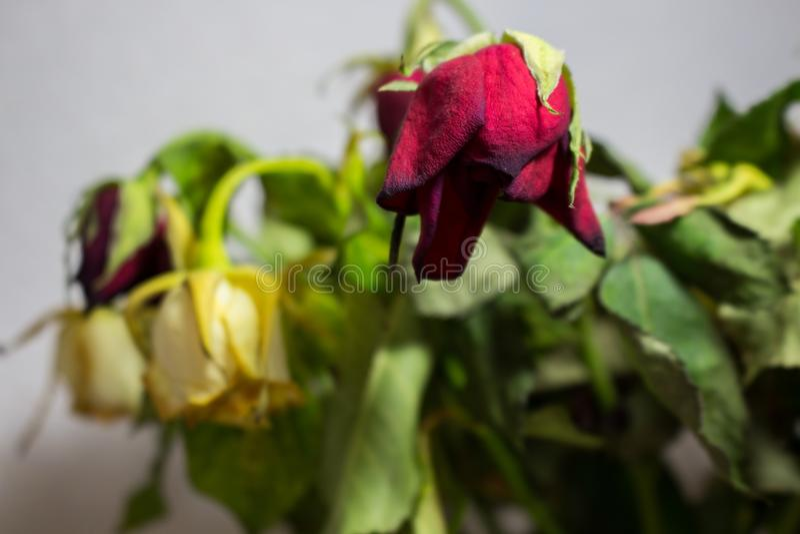 在灰色背景的枯萎的红色和白色玫瑰 免版税库存照片