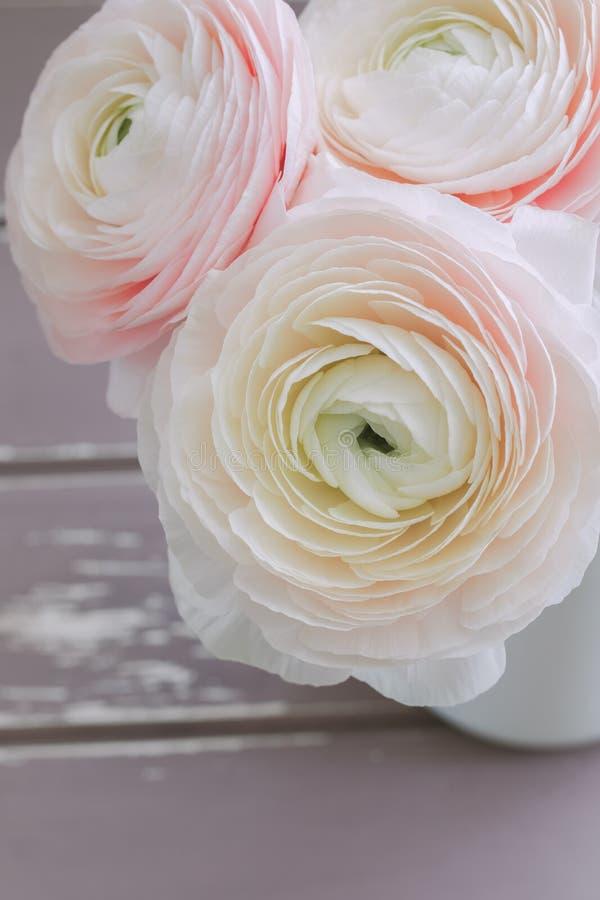 在灰色背景的桃红色毛茛属宏指令 春天明信片概念 库存图片