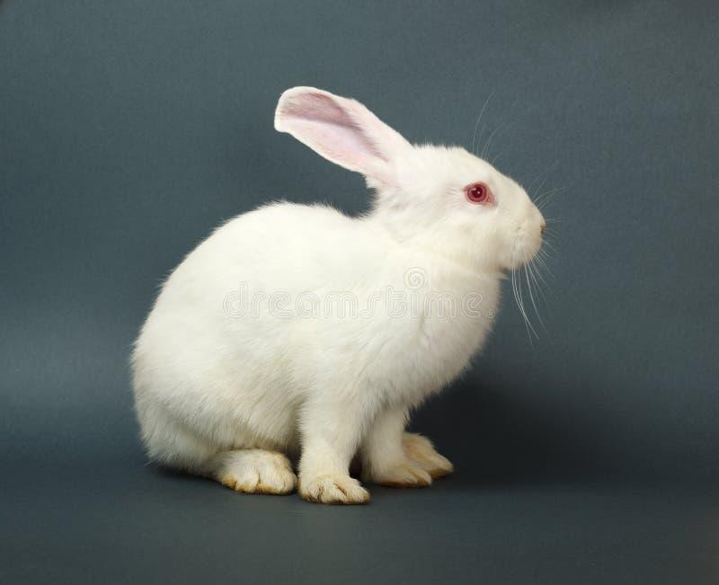 在灰色背景的白色兔子 免版税图库摄影