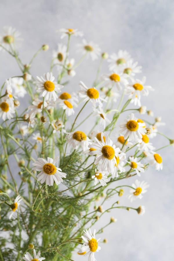 在灰色背景的美丽的春黄菊花 图库摄影