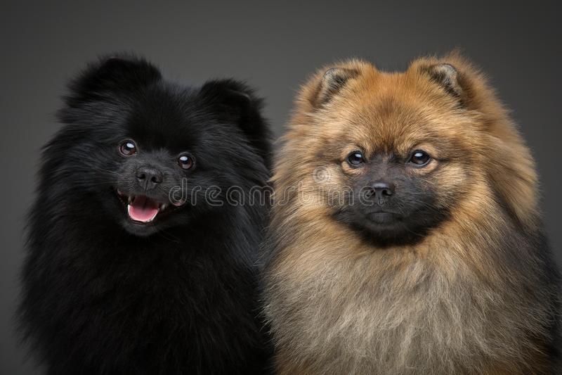 在灰色背景的美丽的波美丝毛狗狗 库存照片