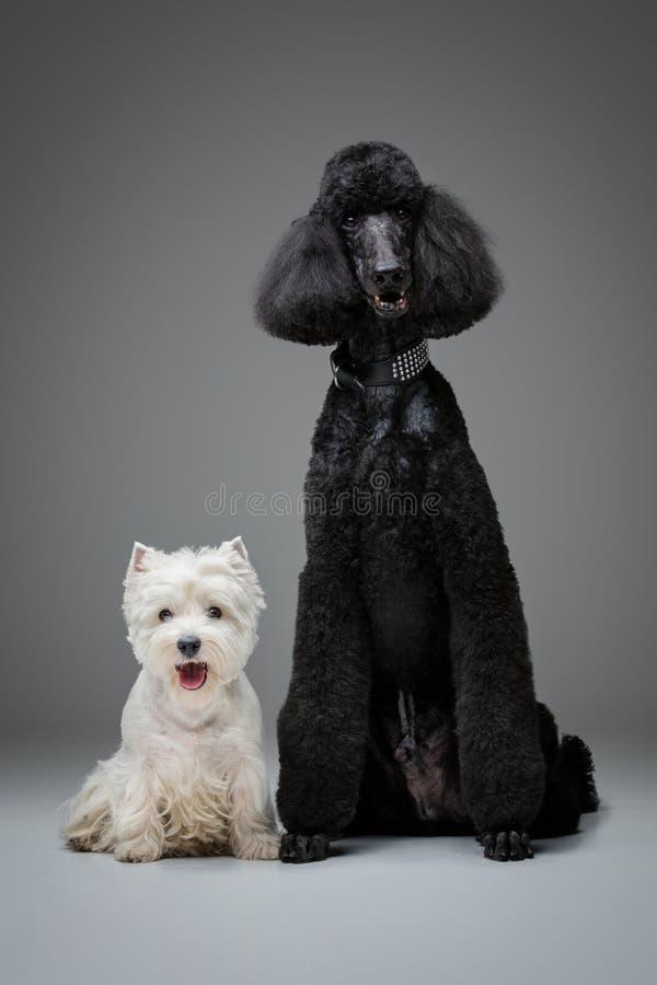 在灰色背景的美丽的黑长卷毛狗和westie狗 免版税库存照片