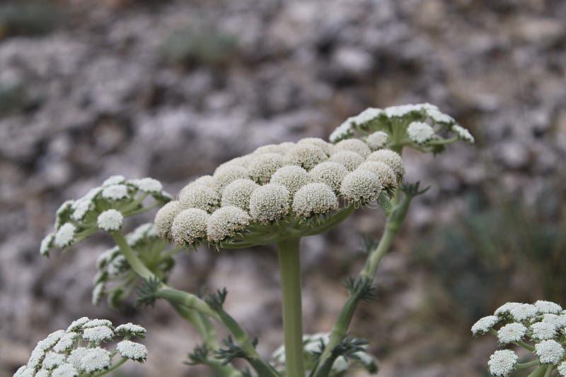 在灰色背景的黄色白的花特写镜头 在绿色茎的花 圆的花 库存照片