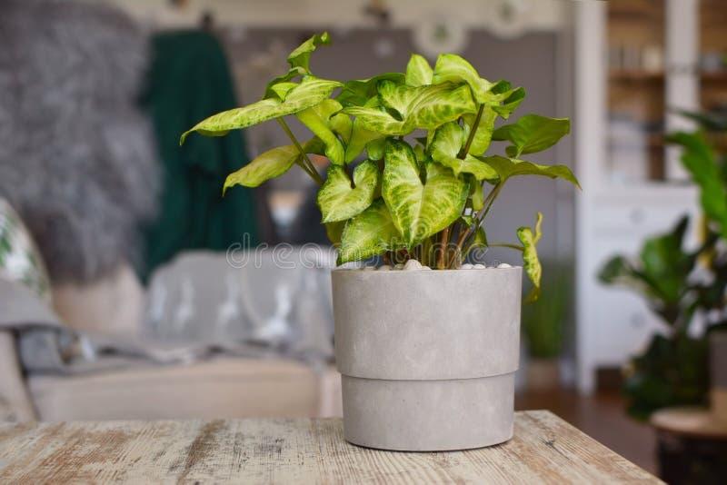 在灰色花盆的浅绿色的异乎寻常的室内植物鬼臼属藤植物在桌上 免版税库存照片