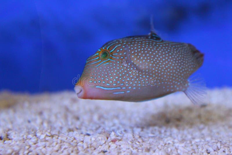在灰色颜色的一条独特的鱼 图库摄影