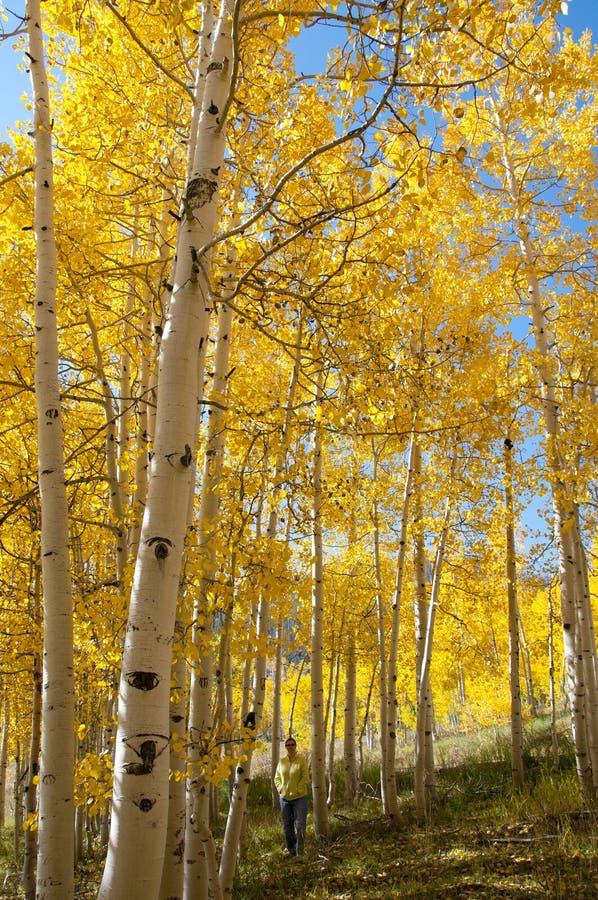 在炫耀他们的秋天颜色的黄色亚斯本树的秋叶 免版税图库摄影