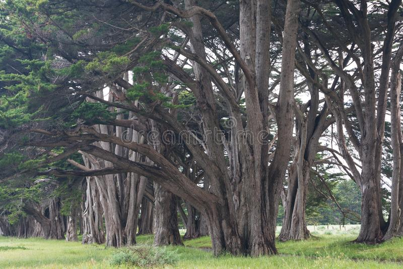 在点雷耶斯全国海滨,加利福尼亚,美国的惊人赛普里斯胡同 童话树在好天气 库存图片