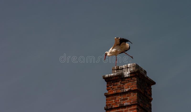 在烟囱Ciconia ciconia的上面的鹳 免版税库存图片