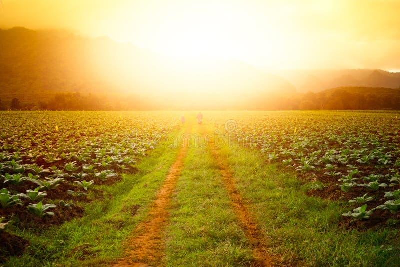 在烟草田的路在日落时间 免版税库存照片