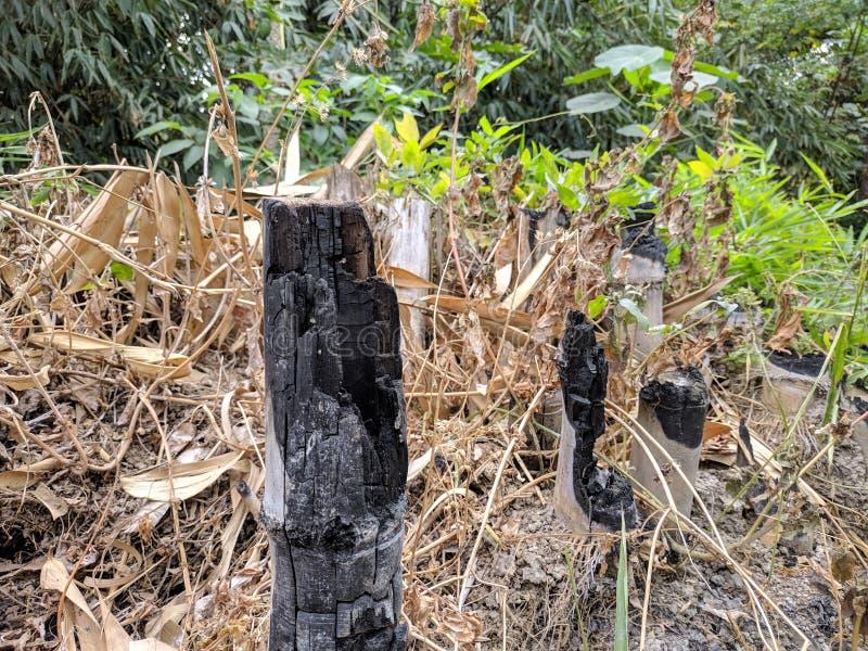 在烧以后的竹子在庭院里 免版税库存图片