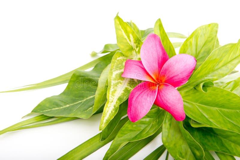 在热带叶子的桃红色赤素馨花花 免版税图库摄影