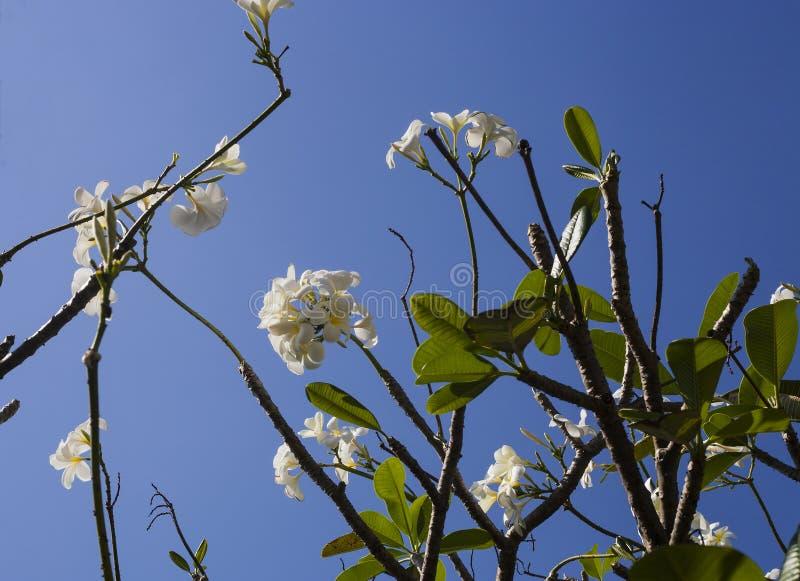 在热带树枝的白花羽毛 库存照片