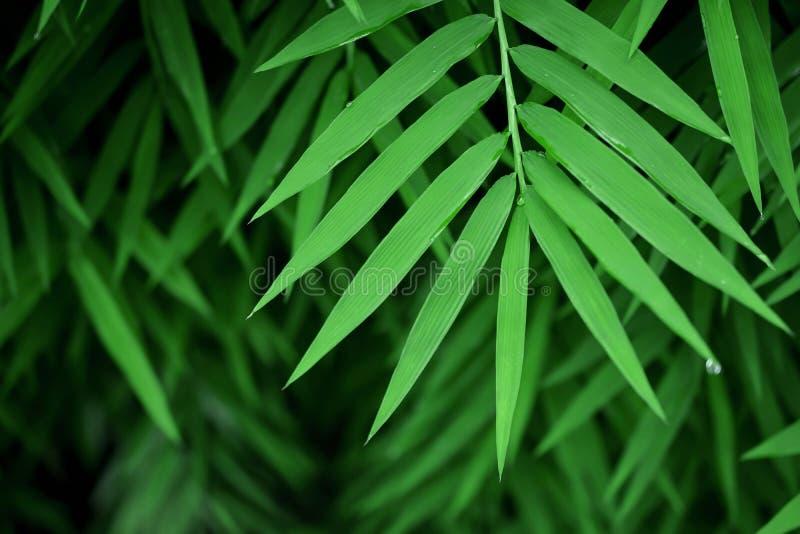 在热带森林生气勃勃的绿色竹子叶子由水下落 库存图片