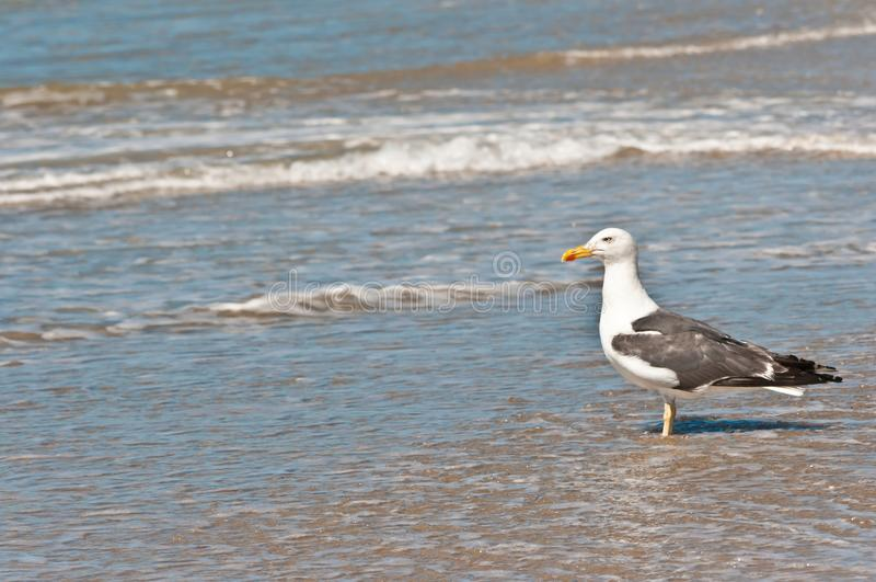 在热带海滩的海鸥 图库摄影