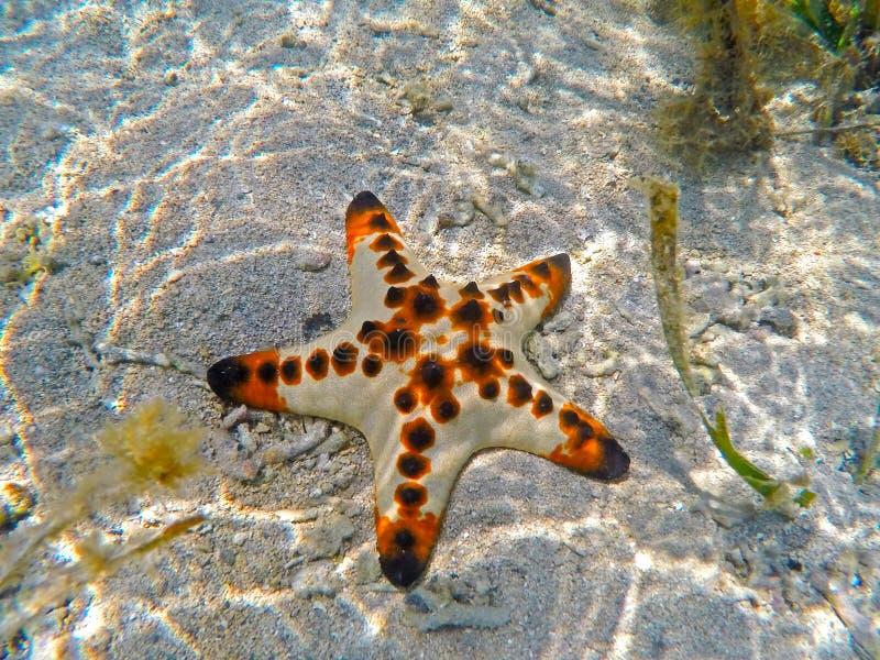 在热带海白色沙子的橙色枕头海星在萨努尔,巴厘岛,印度尼西亚 免版税库存图片