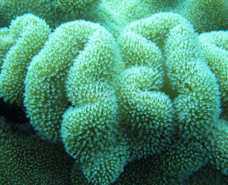 在热带的珊瑚虫软的珊瑚 免版税图库摄影