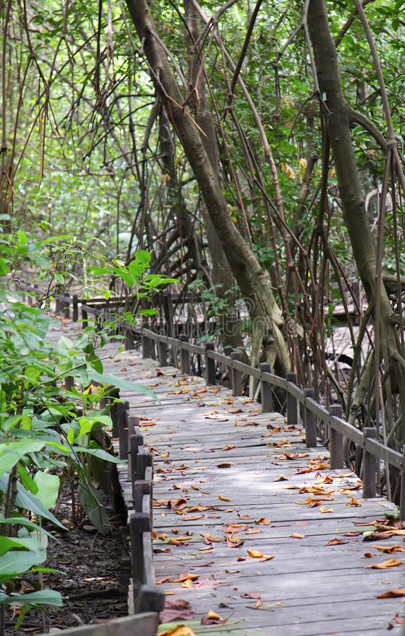 在热带美洲红树森林里面的木桥 图库摄影