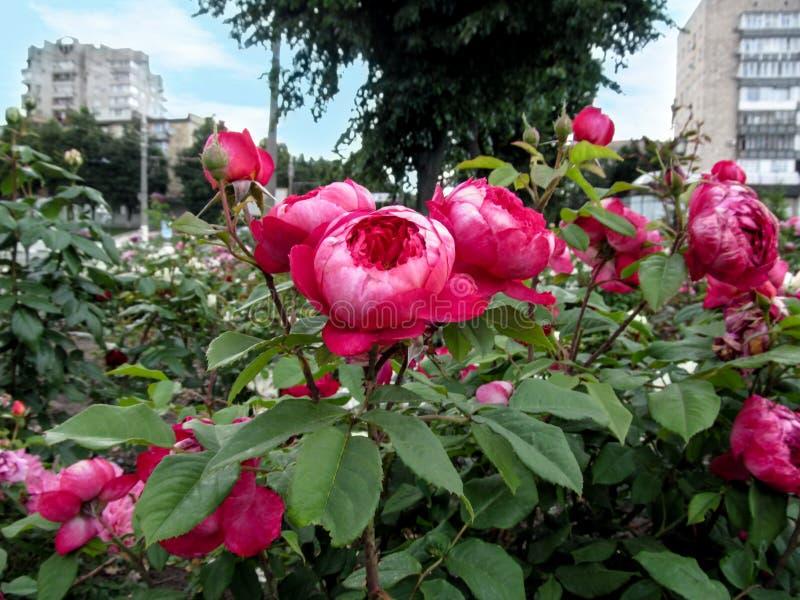 在热的洋红色颜色特写镜头的惊人的球状玫瑰色花群反对都市风景背景  免版税库存图片
