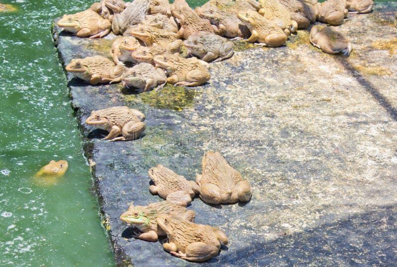 在热水锅的青蛙 库存图片