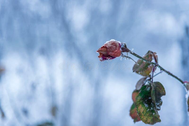 冻在焦点上升了有被弄脏的背景 俄罗斯,旧克里木 免版税库存照片