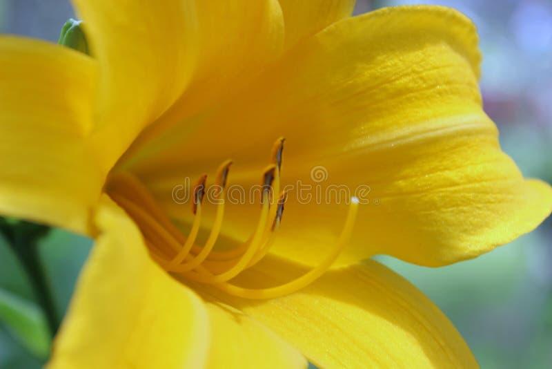 在焦点的大黄色花 库存照片