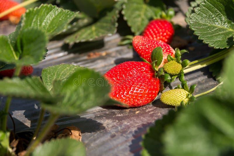 在煤斗ha莎朗的草莓采摘 库存图片