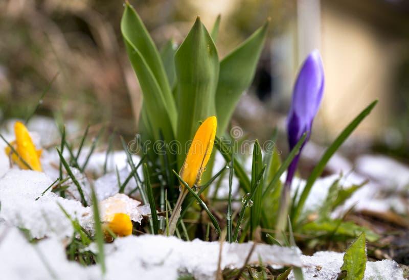 在熔化的雪的番红花 库存图片